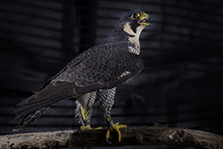 Beatrix, the Canadian Peregrine Falcon standing on a branch