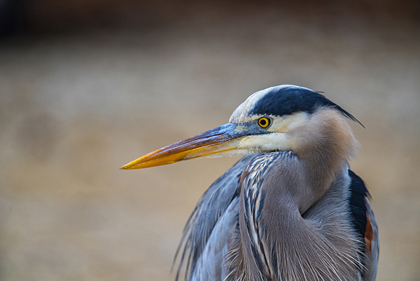 An adult great blue heron standing